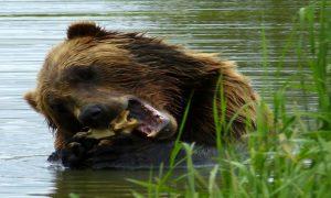 Grizzly Alaska, Jean-Michel BOCKLER