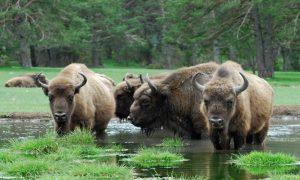Reserve bisons, mont d'azur
