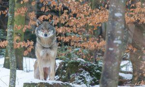 regard des loups, explorimages, Jean-Louis CRESP